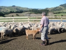 "David Wyllie, ""Mangakura\"" Ewes & the goat"