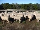 "\'Moor End\"" Ewe Lambs"