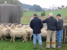 "Stephen Baker, John Macaulay & Dave Gillespie looking at \""Rawa\"" Ram Lambs"