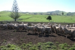 "Scott & Phillipa Innes\'s ""Mangakura\"" Ram Lambs"