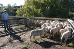 """Blair & \""""Moor End\"""" Ewe Lambs"""