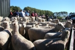 "John & Sue Wynyard\'s ""Moor End\"" Ewes"