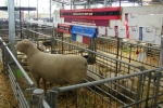 Supreme Champion Meat Breeds Sheep
