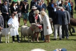 Jordans Southdown ram receives the Royal hand of approval