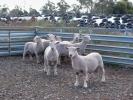 "\""Yentrac\"" ram lambs"