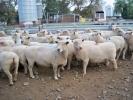 "\""Yentrac\"" ewes"