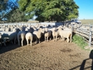 """Clear Hills\"" 2th ewes"