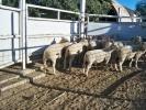 "\""Clear Hills\"" ram lambs"