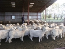  &quot;Bellfield&quot; ewes