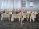 &quot;Bellfield&quot; ram lambs