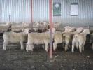 "\""Bellfield\"" ram lambs"