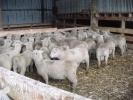 """Lachlan Elliot\'s \""""Lammermoor\"""" ram lambs, Ranfurly"""