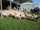 "\""Rhino Downs\"" ram lambs"