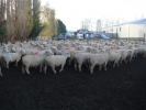 """Merrydowns\"" 2th ewes"