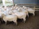 "\""Sea View\"" ewe lambs"