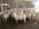 """Todd & Fleur Anderson\'s \""""Tralee\"""" ewe lambs, Winton"""