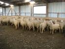"\""Tralee\"" ram lambs"
