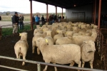Donald MacLean's &quot;Bellfield&quot; ewes, Omakau
