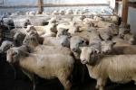 "\""Riverside\"" ram lambs"