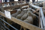 "Ross & Tracey McCall\'s  \""Mt Annan\"" lambs"
