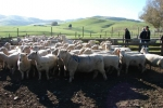 ""\""""Tralee"""" ewes in mating mobs""150|100|?|en|2|1c7b1fdb80746afcd9fe81b18a25b63e|False|UNLIKELY|0.30417072772979736