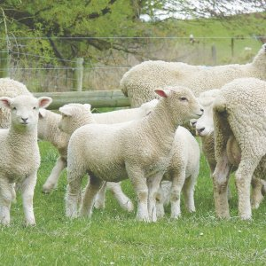 FAST GROWING, easily delivered Southdown lambs