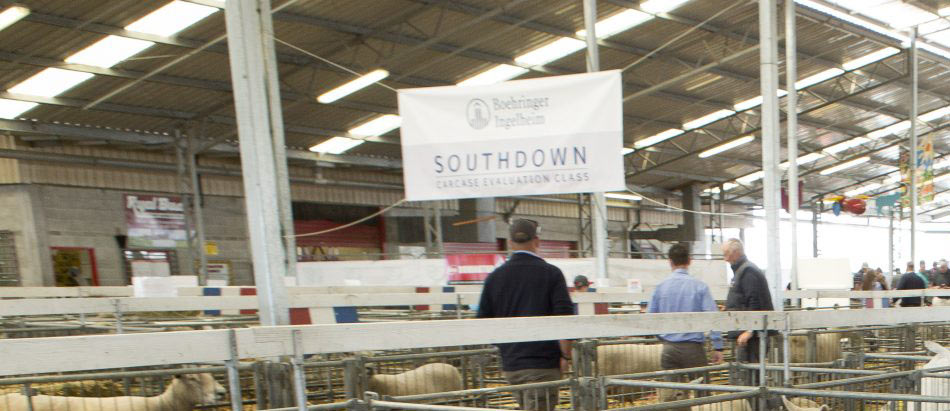 Southdown section at Canterbury A&P Show